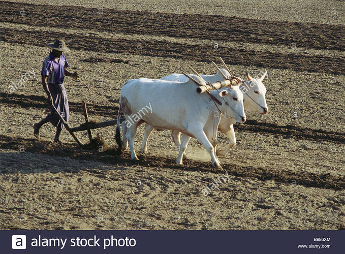 sri-lankan-farmer-plowing-field-with-yoked-zebu-B986XM